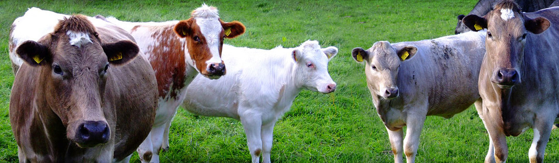 cows-in-photographic-shot-art-header