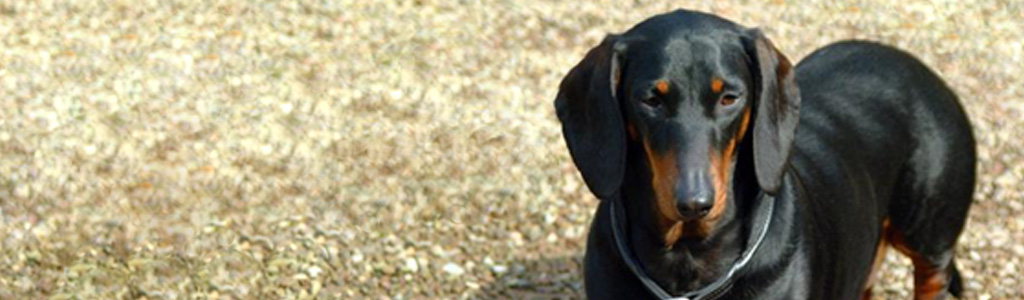 brown-black-young-dog-website-header