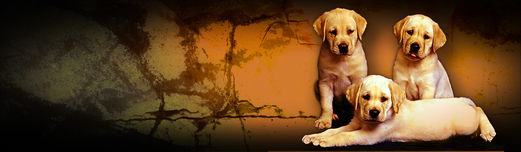 labrador-retriever-puppies-blog-header
