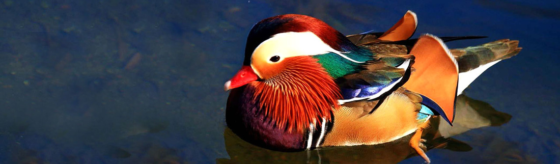 colorful-swiming-mandarin-duck-header