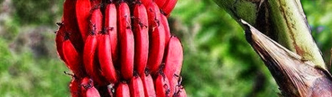 red-bananas-tree-plant-with-reddish-purple-skin-web-header