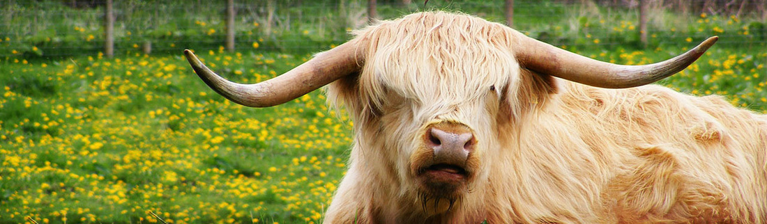 red-highland-cattle-website-header